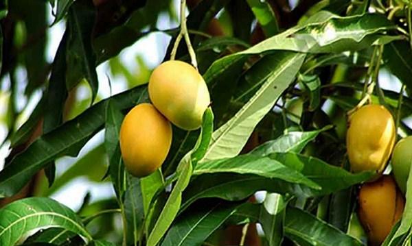 Las hojas de mango, útil para combatir la diabetes