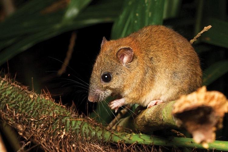 Reportan primera extinción de un mamífero por el cambio climático