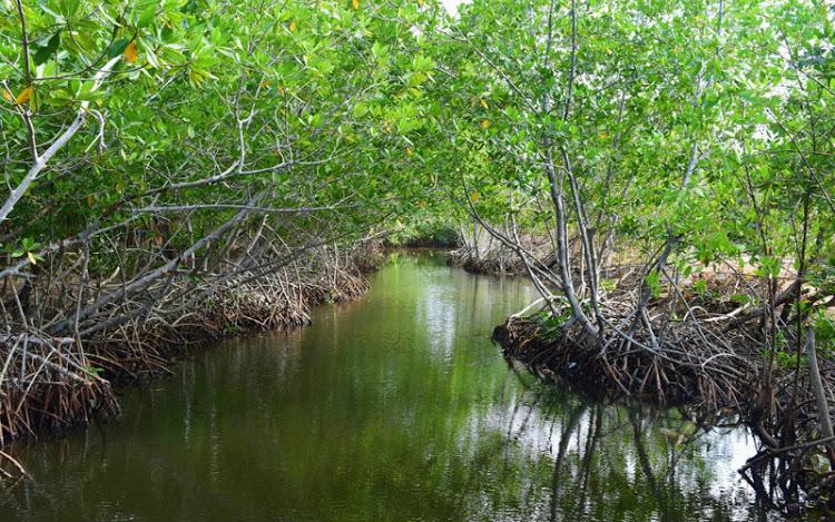 Entre el mar y la tierra: manglares
