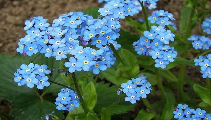 Nomeolvides: más que una flor, un ruego