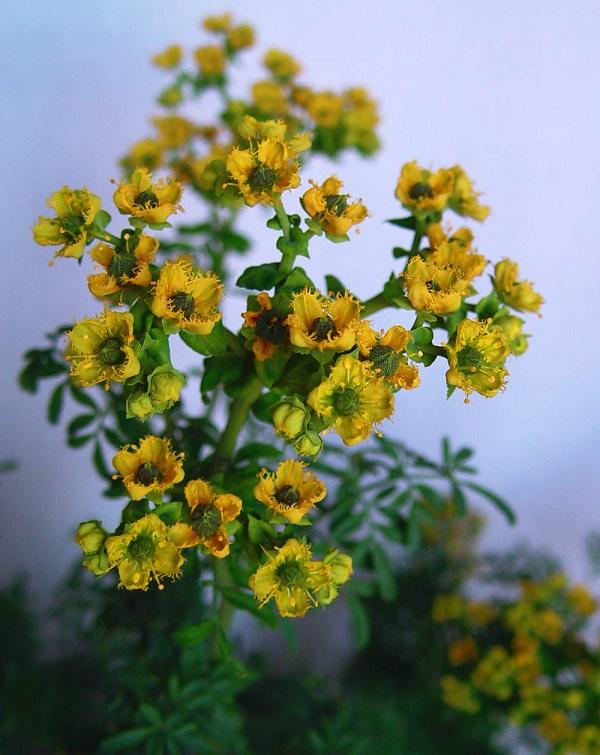 La ruda, una planta que la rodea el misterio