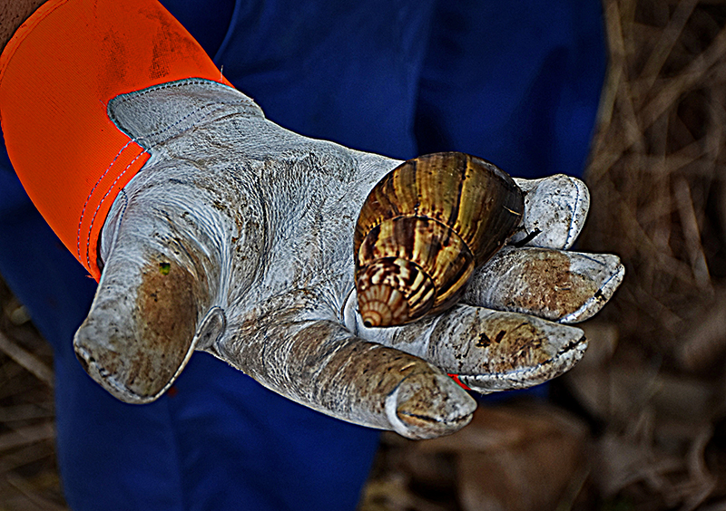 """El Club de Motos Eléctricas """"atropella"""" al caracol gigante africano. Foto: Sergei Montalvo Aróstegui"""