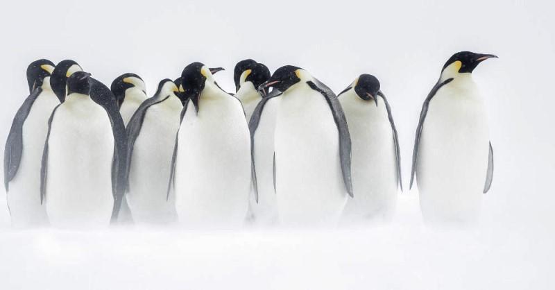 """Emperor penguins"", por Joshua Holko."