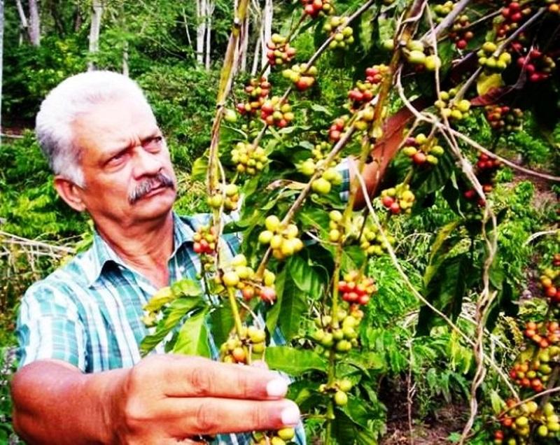 Enfrenta Santiago de Cuba alta maduración en cosecha del café