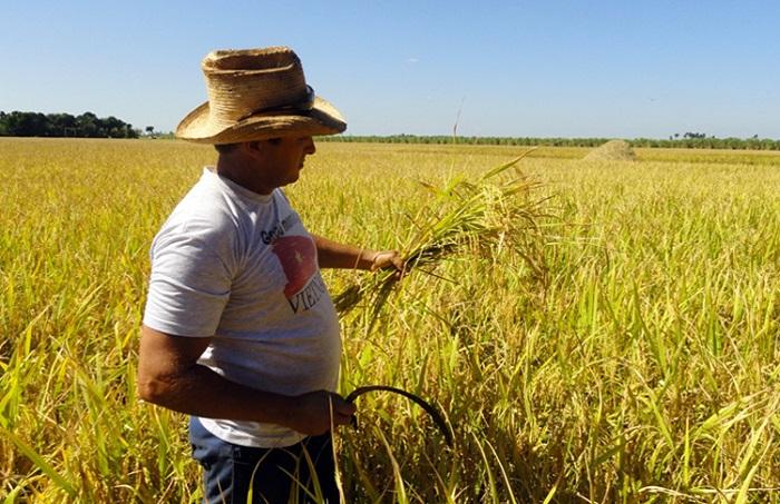 De producción nacional totalidad de la semilla de arroz