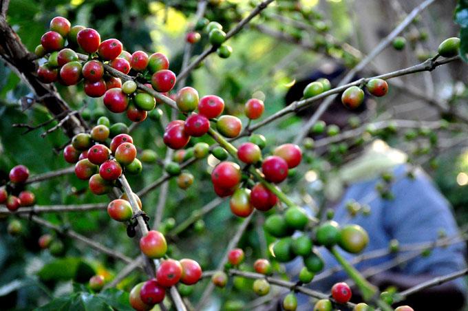 Fomentan plantaciones cafetaleras en Ciego de Ávila