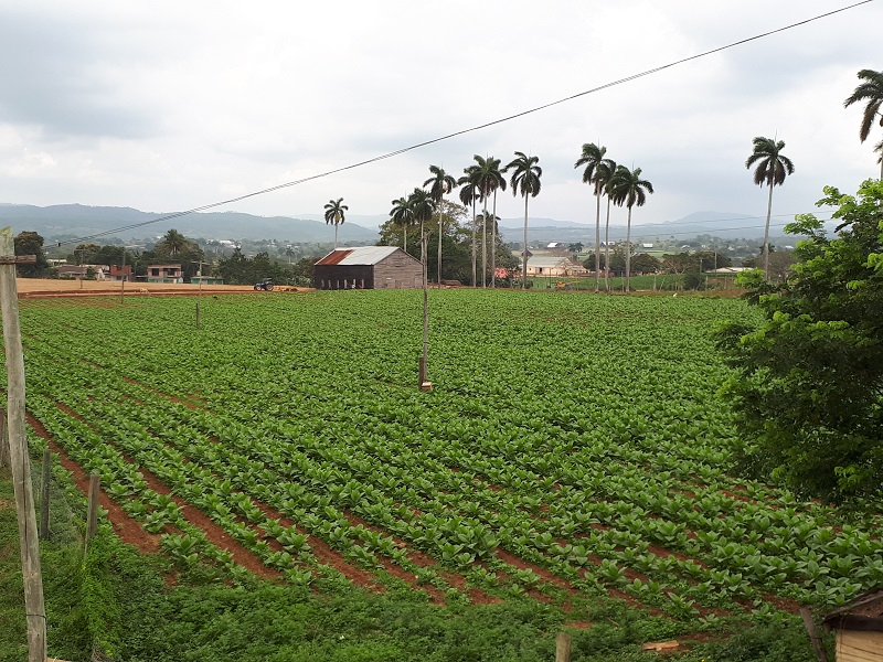 Pinar del Río, cuna del mejor tabaco del mundo