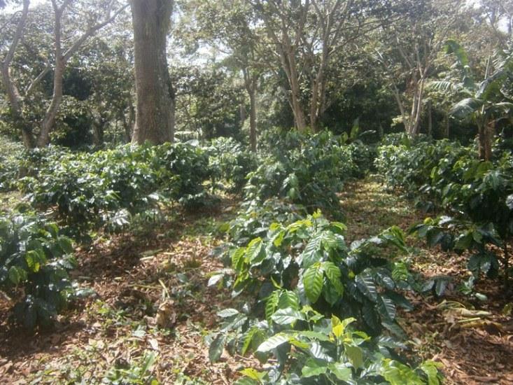 🎧 Desarrolla Cienfuegos proyecto de café sembrado en el llano