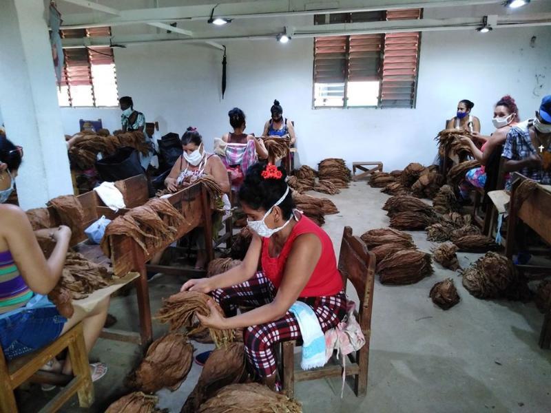Garantizan tabacaleros pinareños producciones para la exportación