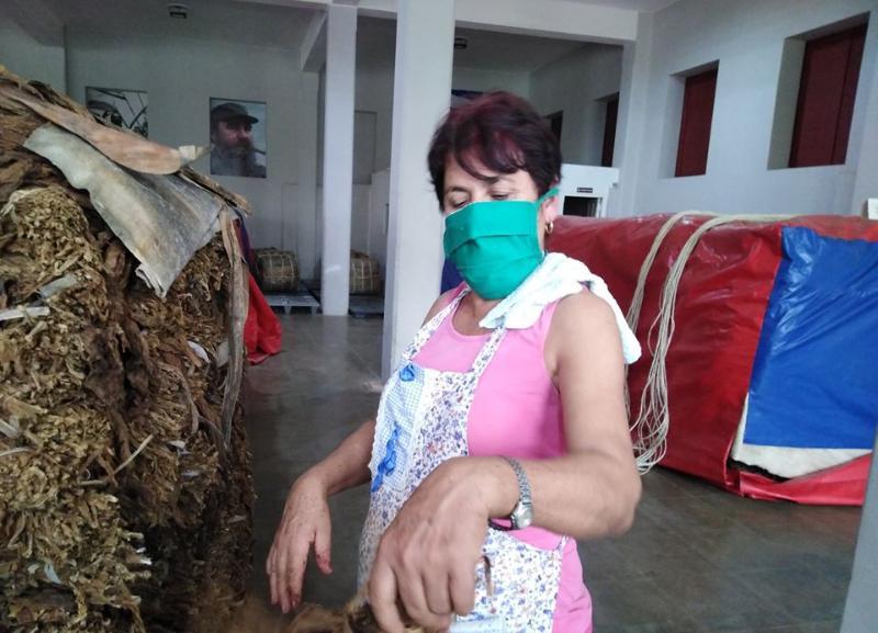 🎧 Garantizan tabacaleros pinareños producciones para la exportación