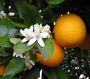 Los secretos de la naranja agria