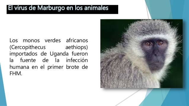 The Marburg Virus in Uganda