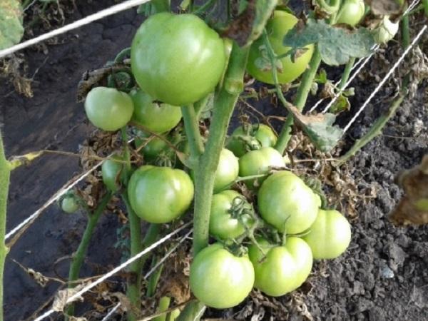 Tomates empalados en la finca del Bebe